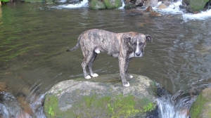 Eco - an intact brindled pit bull