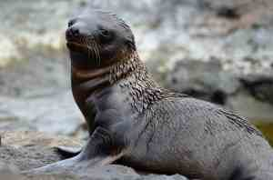 Newborn Baby Fur Seal