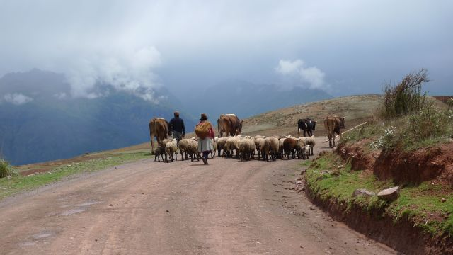 Herding sheep in the Andes