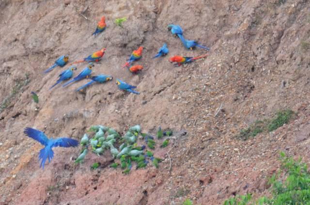 Macaws at the claylick