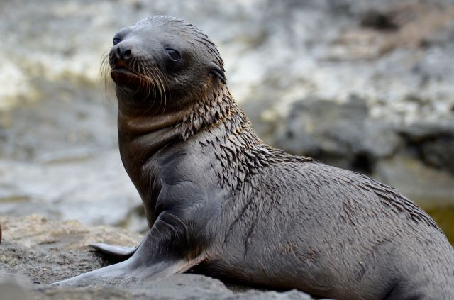 Infant Sea Lion