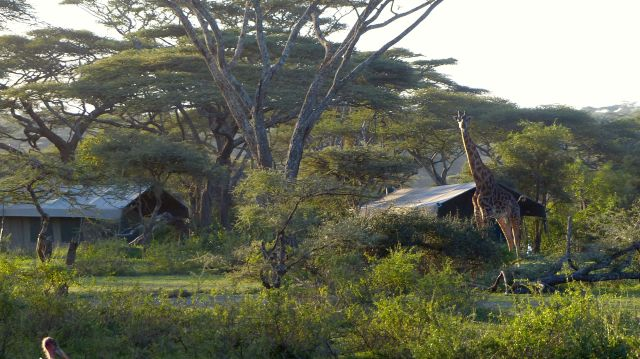 Giraffe in camp