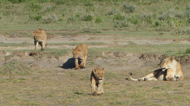 Lion cubs after feeding