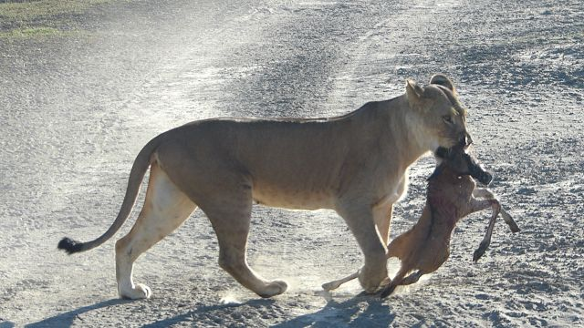 Lioness after the kill