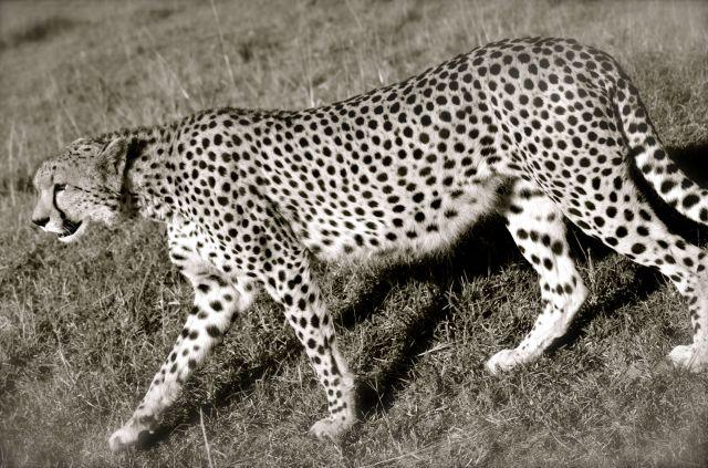 Mac's photo of a cheetah momma