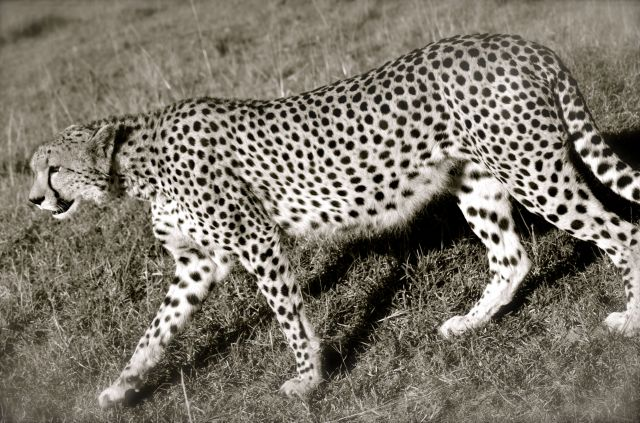 Mac's photo of a cheetah momma