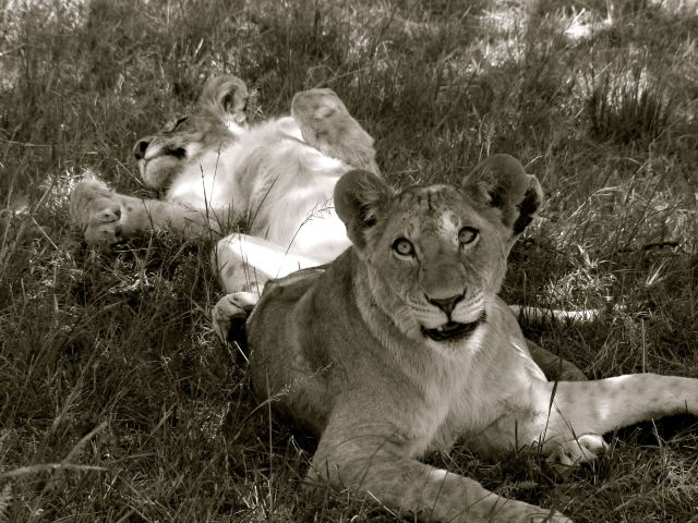 Lions lazing about