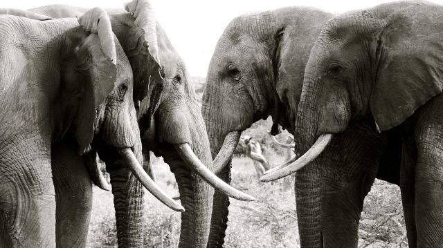 The retired generals, a herd of bull elephant
