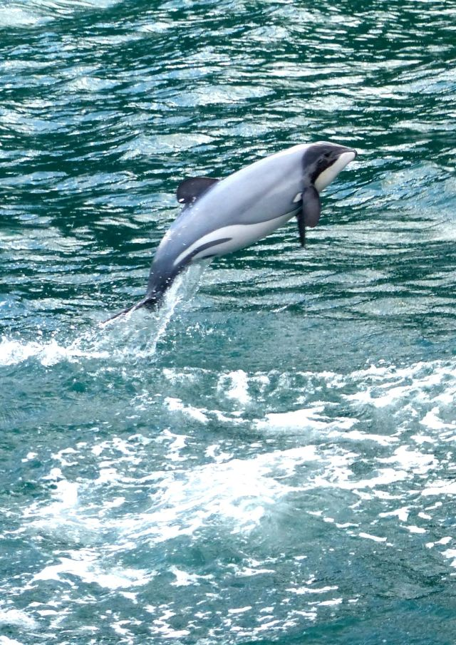 The diminutive Hector's Dolphin