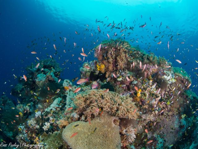 Healthy corals (Photo: Ross Pooley)
